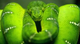 Photoshop snake - reptiles wallpaper