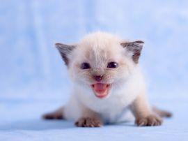 White kitten - cats wallpaper
