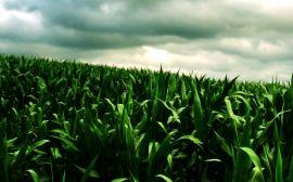 Green corn field - scenery wallpaper