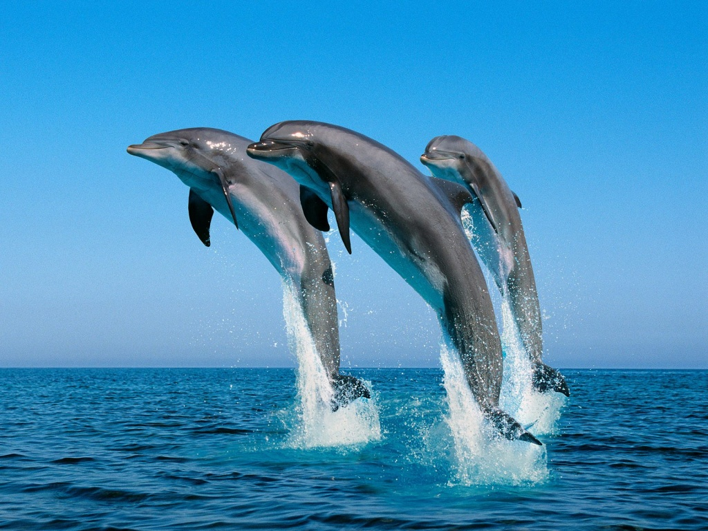 Bottlenose Dolphins - fish wallpaper
