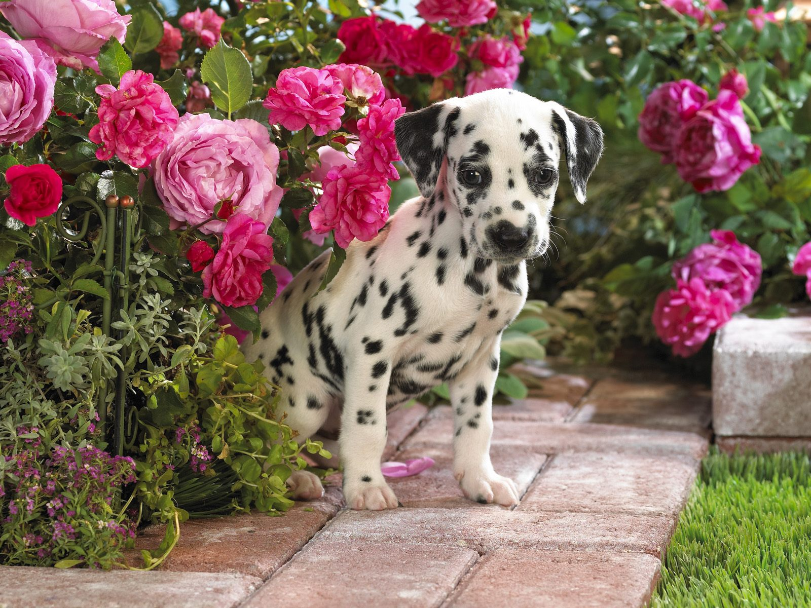 Dogs Wallpapers Saversplanet Com
