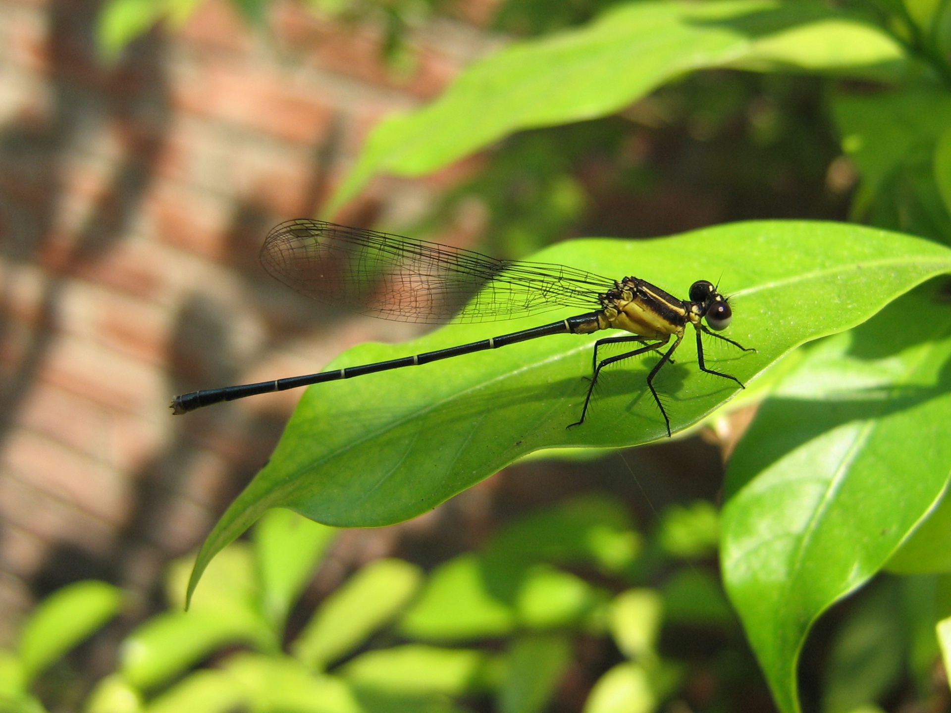Dragon Fly - insects wallpaper