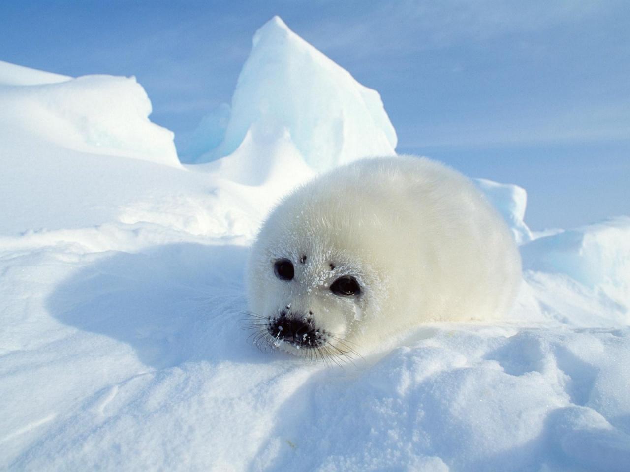 Harp seal pup - harp seal, harp seal wallpaper, harp seal wallpapers