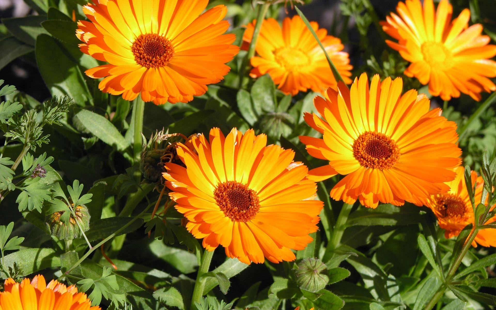 خلفيات ورد 2014 - اجمل خلفيات ورد - خلفيات ورد جديدة 2014 orange-flowers-wallpapers_11073_1920x1200.jpg