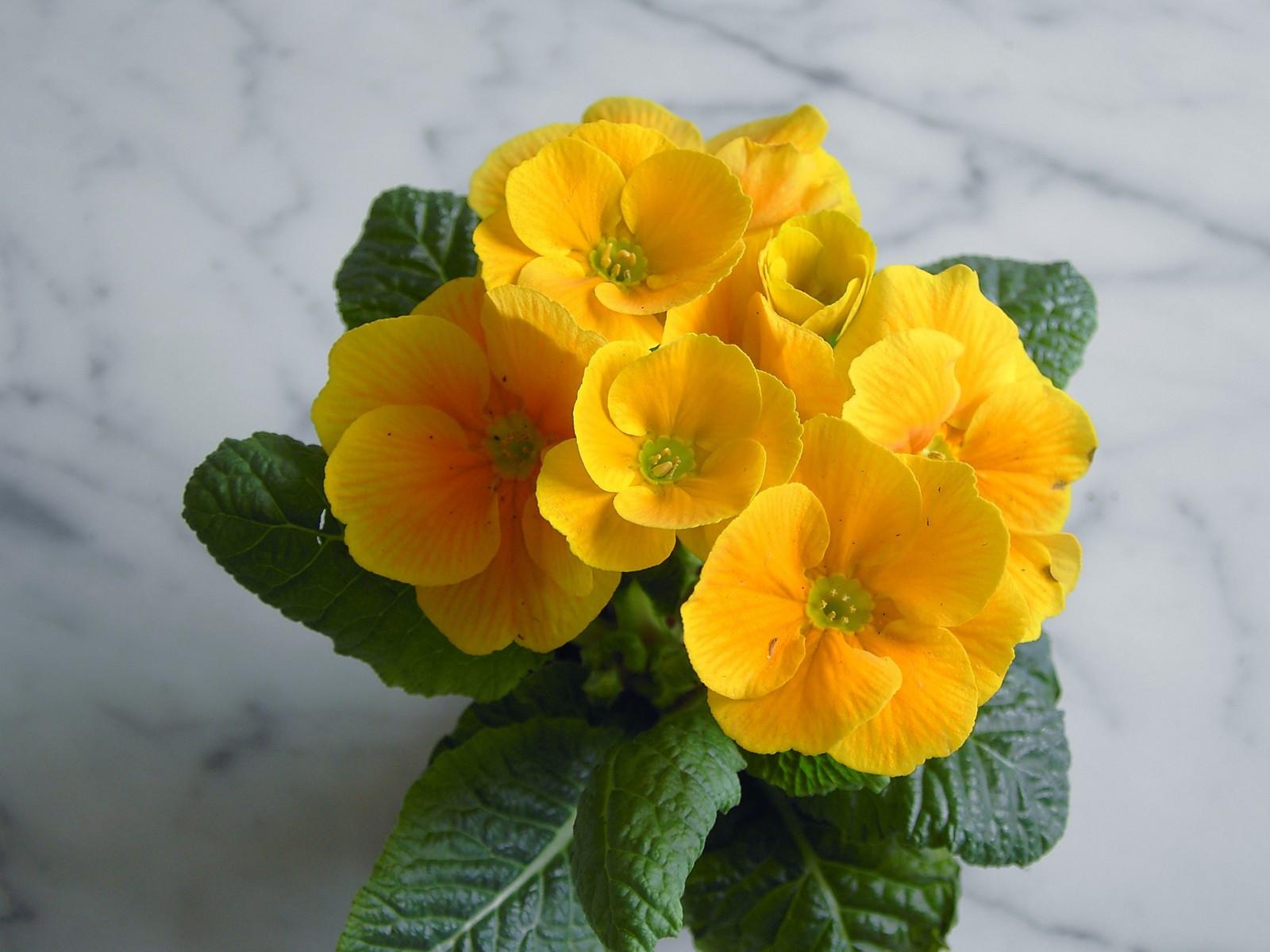 Похожие на фиалку цветы