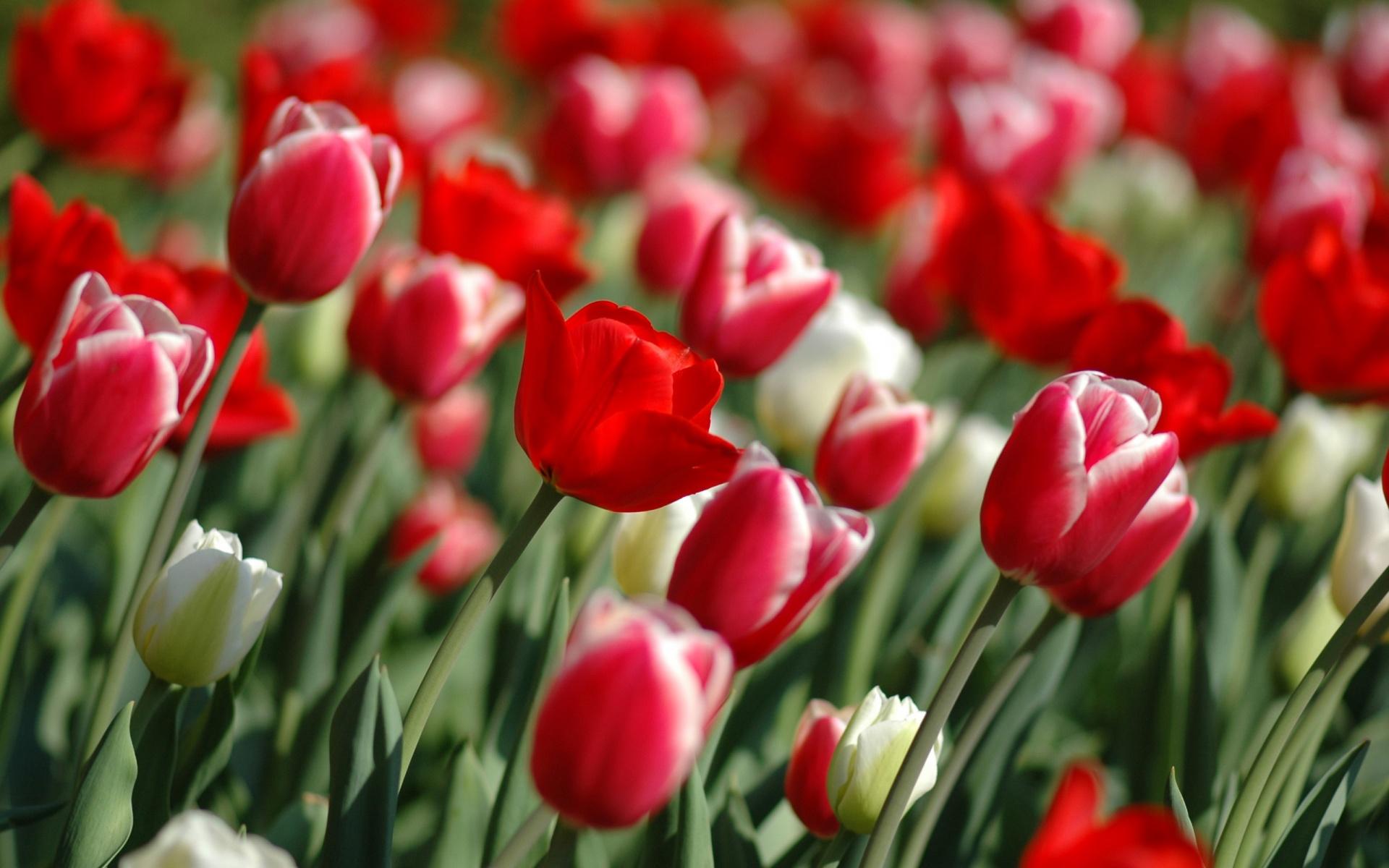 Wallpapers screensavers wallpaper flowers tulips download spring